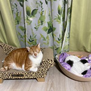 香港からネコちゃん2頭を輸入しました