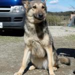 オオカミ犬6