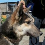 オオカミ犬4
