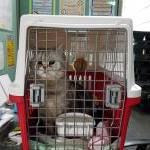 香港向け猫ちゃん輸出イメージ