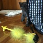 香港向けに子猫の輸出のお手伝いをさせて頂きました!イメージ