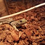 ホウセキカナヘビ