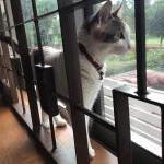 マレーシアにネコちゃん1匹を輸出しましたイメージ
