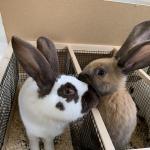 ヨーロッパより毎年恒例の大型ウサギ各種が...