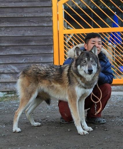 ハイブリッドオオカミ ルナちゃん イメージ1