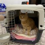 シンガポールへ猫ちゃん1頭を輸出しましたイメージ