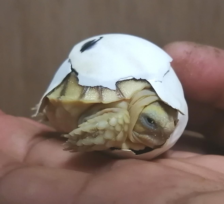 ケヅメリクガメ