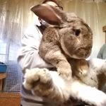 ヨーロッパから小型~大型種のウサギが到着...