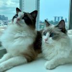 シンガポールにネコちゃん二頭を輸出しました。イメージ