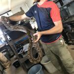 アミメニシキヘビ(ドワーフ)4