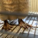 オーストラリアミズネズミ3