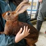 ヨーロッパより大型ウサギ、希少ウサギ各種...