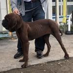 韓国より日本初となる高級種、ドサ(Korean mastiff)が到着しましたイメージ