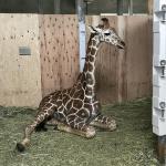 先日到着したアミメキリン、無事に動物園さ...