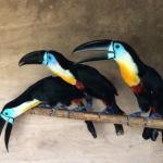 オニオオハシ・シロムネオオハシといった南国定番の鳥。イメージ2
