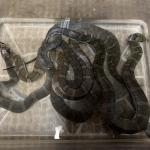 ヒロクチミズヘビ