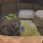 アメリカからネコちゃん1匹輸入しましたイメージ