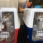 香港へワンちゃん二頭輸出しました。イメージ