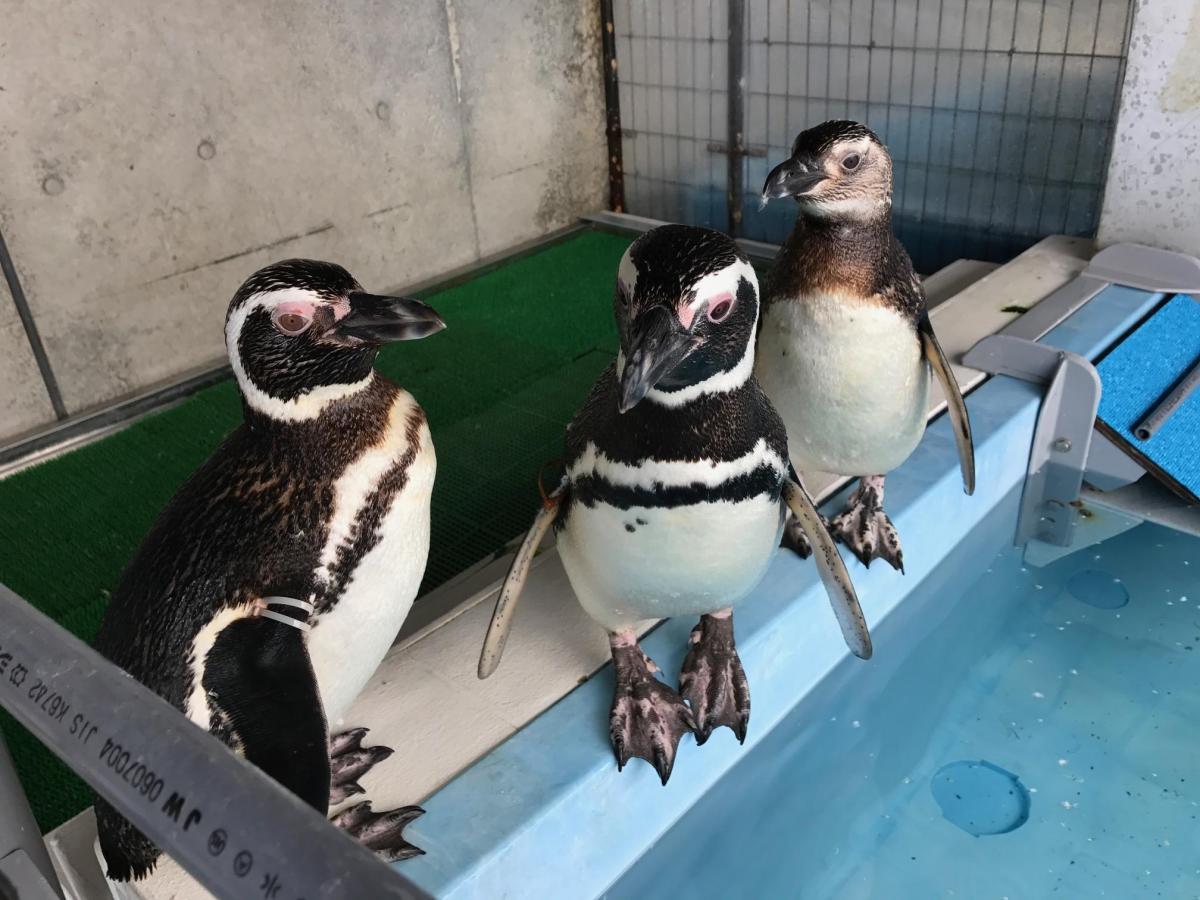 ケープペンギン・マゼランペンギン(イクラちゃん・他)イメージ1