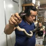 クロクビコブラ1