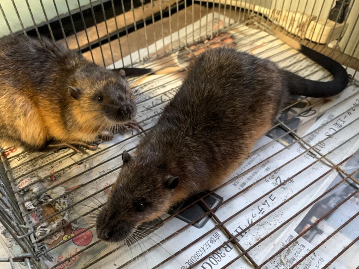 2020-11-26入荷 オーストラリアミズネズミ 2枚目