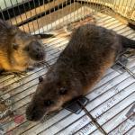 オーストラリアミズネズミ1