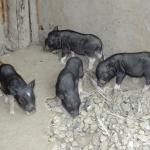 豚イメージ2