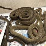 アフリカタマゴヘビ2