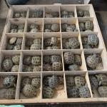 ウズベキスタンより爬虫類各種到着しました
