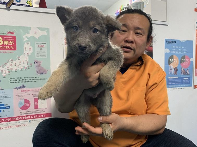 2019-03-07入荷 オオカミ犬 2枚目