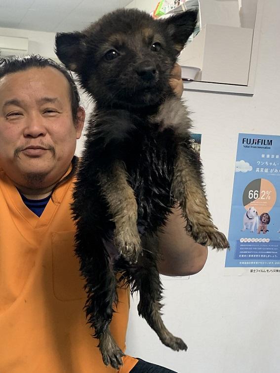 2019-03-07入荷 オオカミ犬 3枚目