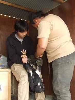 2011-03-20入荷 コシジロイヌワシ 3枚目
