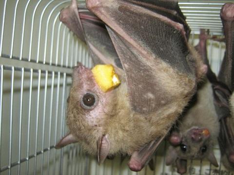 エジプシャンルーセットオーコウモリ