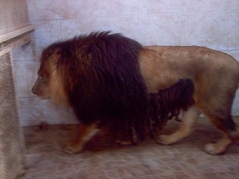 Panthera leo leo1