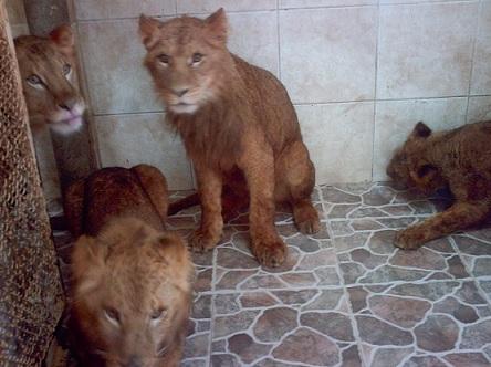 Panthera leo leo2