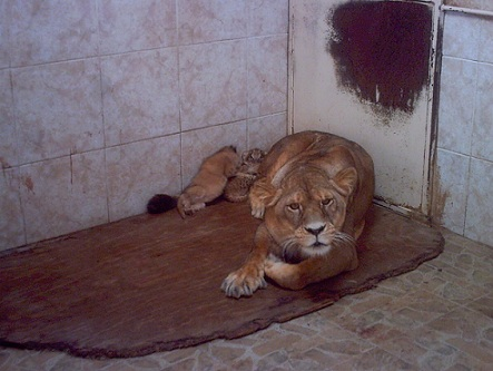 Panthera leo leo3