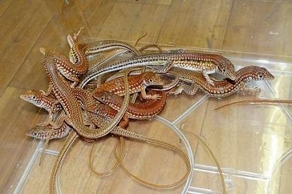 タンザニア便にて爬虫類・両生類の到着です1