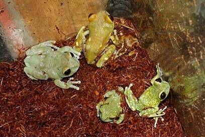 タンザニア便にて爬虫類・両生類の到着です3