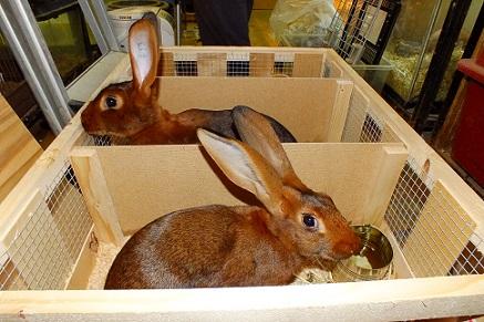 人気の大型ウサギ各種到着しました1