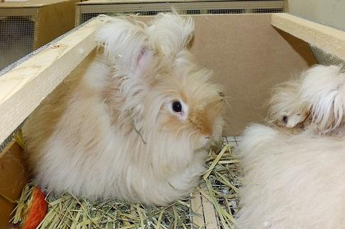 人気の大型ウサギ各種到着しました2