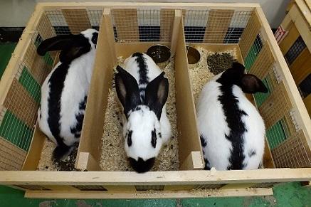 人気の大型ウサギ各種到着しました3
