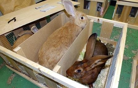 人気の大型ウサギ各種到着しました4