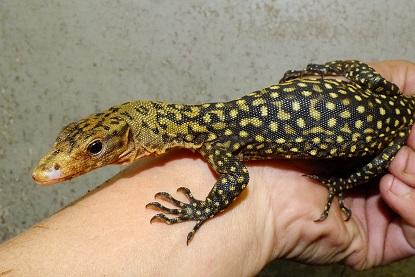 インドネシアより爬虫類、両生類の到着です3