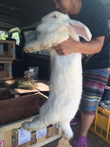 ベルギーより大型ウサギ各種到着しました2