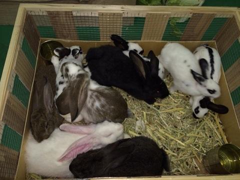 ベルギーより大型ウサギ各種到着しました3