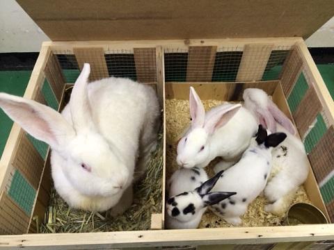 ベルギーより大型ウサギ各種到着しました4
