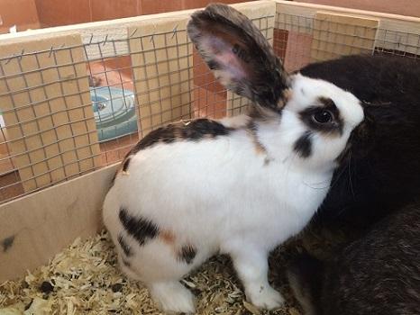 ヨーロッパより大型ウサギの到着です1