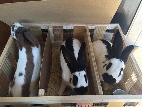 ヨーロッパより大型ウサギの到着です2