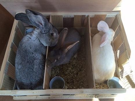 ヨーロッパより大型ウサギの到着です3