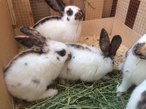 ヨーロッパより大型ウサギ、希少ウサギ各種到着しました1